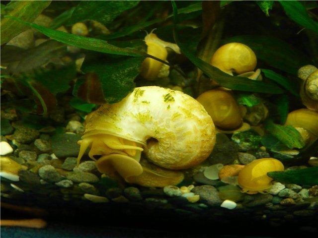 Чем кормить аквариумных улиток